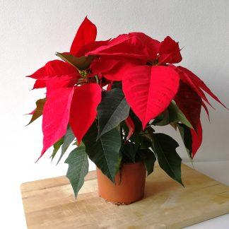 FRU Flor Estrela de Natal em Vaso